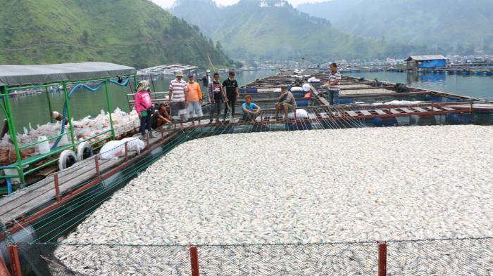 Mencengangkan, 1.500 Ton Ikan Di Danau Toba Mati Mendadak